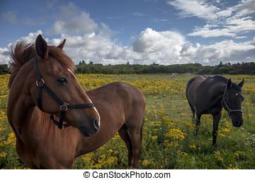 Horses on a Danish field