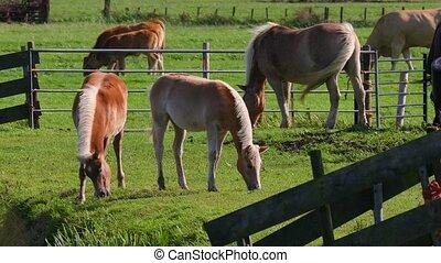 Horses on a farm - Horses grazing on a farm