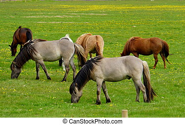 Horses on a grass field in Iceland during summer