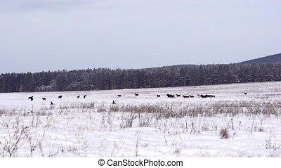 Horses on a snowy field