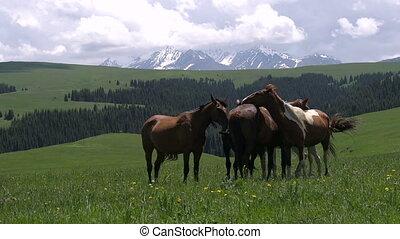 Horses on Pasture Picturesque - Herd of horses grazing...
