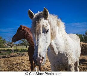 Horses on the pasture, Mallorca