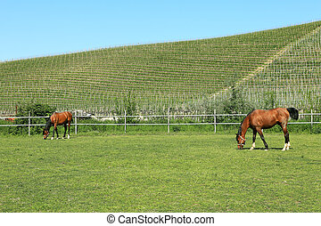Horses on the pasture. Piedmont, Italy.