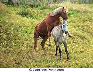 horses., pároztatás