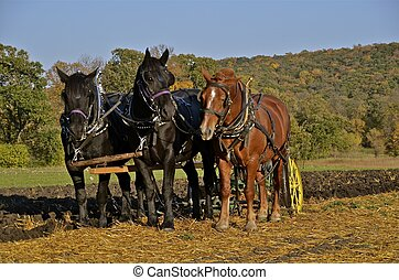 Horses pulling a plow - A team of three horses are pulling a...