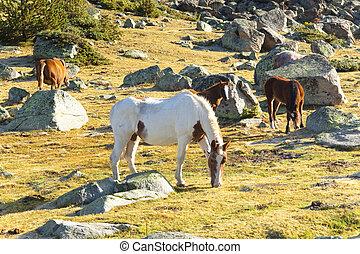 Horses - Pyrenees mountain - Horses in Pyrenees mountain. ...