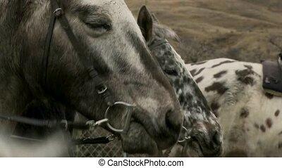 Horses ready for trek - Wanaka.