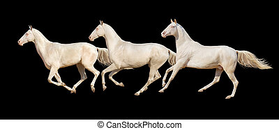 Horses run gallop isolated