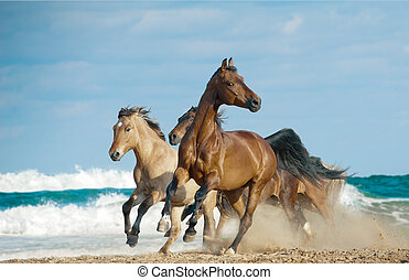 horses run in a wild - Wild free horses running by the ocean...