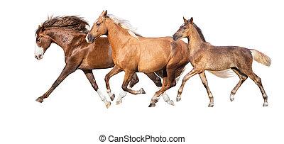 Horses run isolated on white