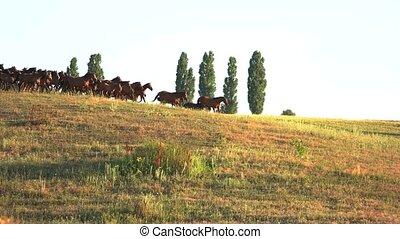 Horses run on grassy meadow.