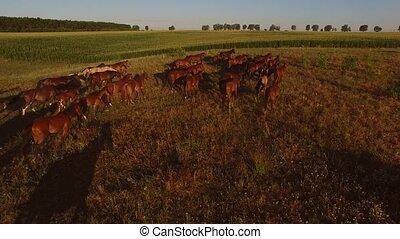 Horses run on meadow