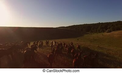 Horses running on the meadow. Aerial view of hoofed animals....