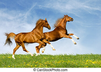 Horses runs across field - Two chestnut horses gallops on a...