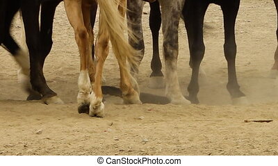 A hand held, close up shot of horses being forced to step over a dead goat.