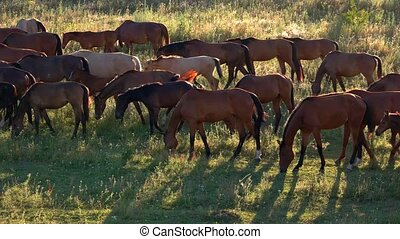 Horses walk and eat grass. Brown horses on meadow. Animals...