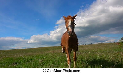 Horses with a foal graze in the field, daytime beautiful...