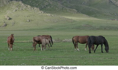 Horses with foals grazing in a pasture in the Altai...