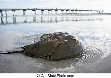 Horseshoe Crab - A horseshoe crab on the beach