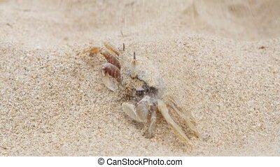 horseshoe crab burying itself in sand