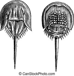 Horseshoe crabs in the Moluccas. - 1, lower surface 2. upper...