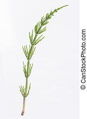 horsetail, arvense., equisetum, plant:, medizinisch