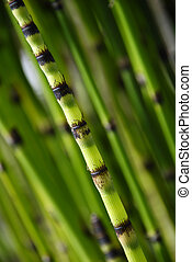horsetail bamboo - single shoot of bamboo set against out of...