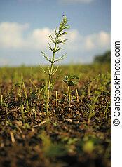 horsetail, (equisetum, comum, arvense)