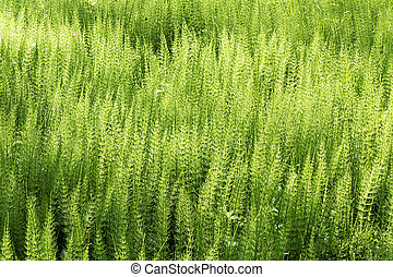Horsetail. - Forest with Horsetail in De Horsten estate in ...