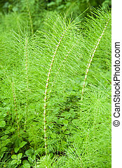 horsetail - Horsetail plant on a green meadow
