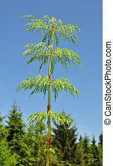 horsetail, madeira, (equisetum, sylvaticum)