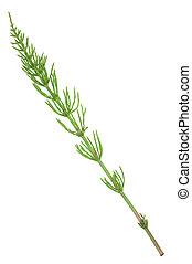 horsetail, medicinal, arvense., plant:, equisetum
