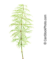 horsetail plant isolated on white