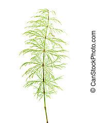 horsetail, planta