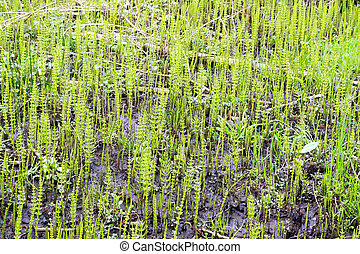 Horsetail plants.