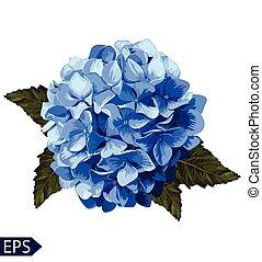 hortensia, bleu, réaliste, illustration, lavender., vecteur...