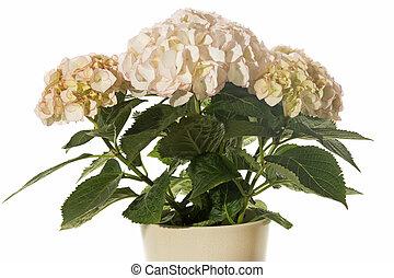 hortensia, fleur, beige, pot