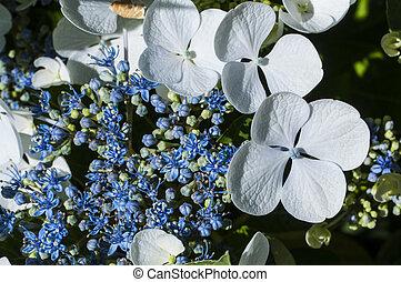 hortensia, fleur