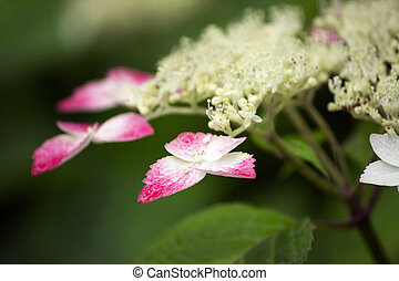 hortensia, fleur, lacecap, blanc rouge