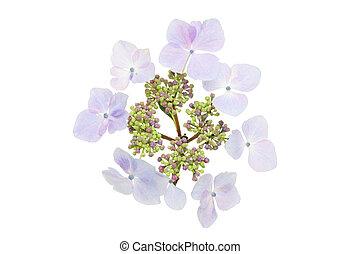 hortensia, fleur, lacecap
