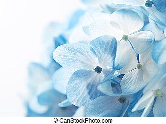 hortensia, fleurs, ba
