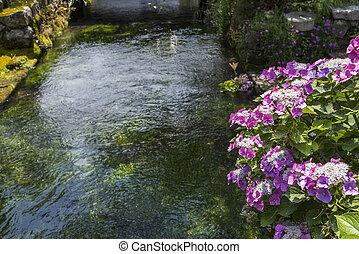 hortensia, fleurs, lacecap