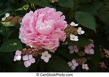 hortensia, fleurs, lacecap, pivoine