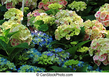 hortensia flowers background