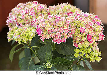 hortensia, jardin fleur, unique, dehors
