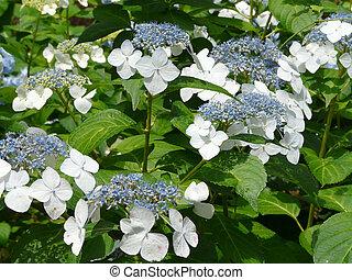 hortensia, lacecap, fleur, closeup, bleu
