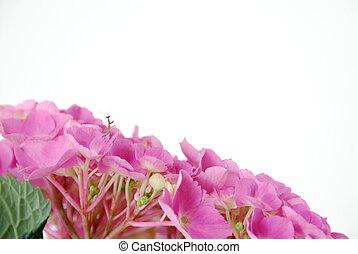 hortensia, lacecap, insecte