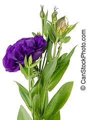 hortensia, lacecap, (macrophylla, normalis)