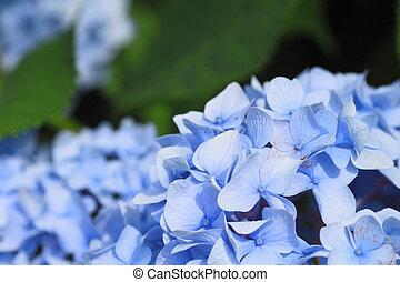 hortensia, macrophylla