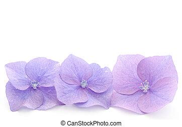 hortensia, parties fleur